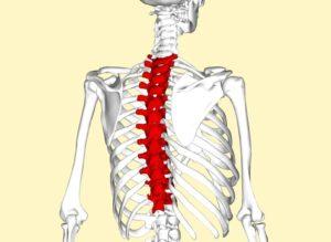 T Spine Vertebrae
